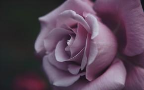 Картинка макро, роза, лепестки, бутон, сиреневая