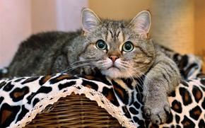 Картинка кошка, кот, взгляд, морда, поза, серый, портрет, лапы, ткань, лежит, плед, корзинка, полосатый, зеленые глаза, …