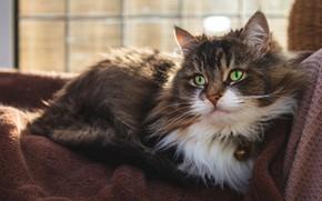 Картинка кошка, кот, взгляд, морда, постель, лежит, зеленые глаза, пушистая
