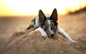 Картинка песок, пляж, небо, взгляд, морда, свет, природа, поза, фон, берег, портрет, собака, лапы, горка, лежит, …
