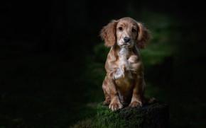 Картинка лес, темный фон, пень, собака, щенок, сидит, спаниель