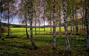 Картинка лето, природа, берёзы