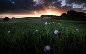 Картинка поле, небо, лучи, деревья, пейзаж, закат, цветы, тучи, природа, маки, вечер, злаки
