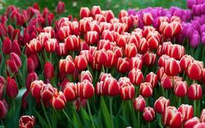Картинка цветы, весна, тюльпаны, красные, бутоны, клумба, много, сиреневые, плантация, полосатые, двухцветные, бело-красные, тюльпановое поле