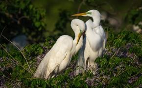 Картинка любовь, птицы, две, пара, зеленый фон, цапли