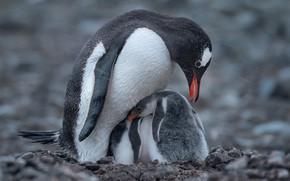 Картинка снег, птицы, пингвины, птенец, боке, Антарктида, пингвинёнок, Майк Рейфман