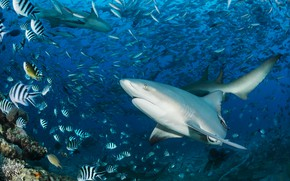 Картинка море, вода, рыбы, акула, подводный мир, плавание, косяк