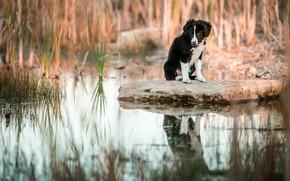 Картинка трава, вода, отражение, камень, собака, малыш, щенок, водоем, бордер-колли