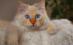 Картинка кошка, взгляд, портрет, лапки, мордочка, голубые глаза, котёйка