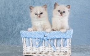 Картинка взгляд, кошки, поза, котенок, корзина, вместе, пара, котята, ткань, котёнок, парочка, корзинка, дуэт, бантик, два, …