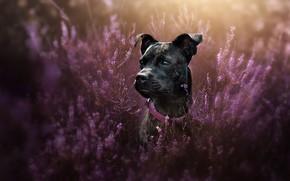 Картинка взгляд, морда, портрет, собака, ошейник, вереск, Стаффордширский бультерьер