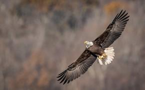 Картинка полет, птица, орёл, белоголовый орлан, размах крыльев
