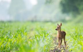 Картинка поле, взгляд, листья, природа, олень, малыш, олененок, детеныш, косуля, боке