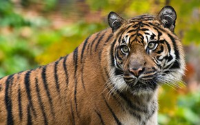 Картинка взгляд, морда, тигр, поза, фон, портрет, боке