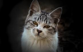 Картинка кошка, взгляд, фон, мордочка, котейка