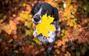 Картинка осень, лист, друг, собака