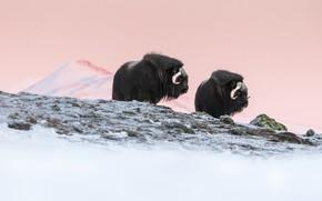 Картинка зима, небо, снег, горы, утро, склон, пара, два, быки, овцебык, два быка, овцебыки