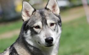 Картинка собака, хаски, фон, друг