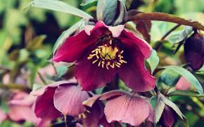 Картинка цветы, фон, морозник, яркий цвет, Геллеборус