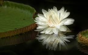 Картинка цветок, листья, вода, природа, озеро, пруд, темный фон, кувшинка, белая, водоем, нимфея, водяная лилия
