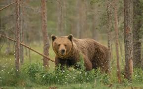 Картинка лес, лето, взгляд, морда, цветы, природа, поза, медведь, мишка, сосны, прогулка, бурый