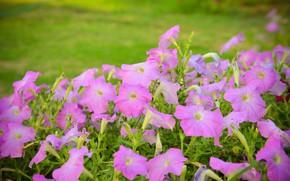 Картинка лето, цветы, куст, сад, розовые, клумба, зеленый фон, петуния, петунии