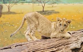 Картинка взгляд, морда, природа, поза, фон, лапы, саванна, бревно, львенок, львёнок, подросток, когтеточка