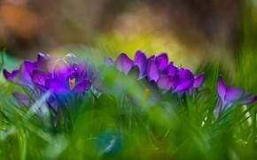 Картинка зелень, цветы, поляна, размытие, весна, фиолетовые, крокусы, боке