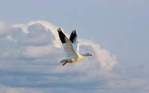Картинка белый, небо, облака, свет, полет, птица, высота, гусь, летящий, взмах крыльев