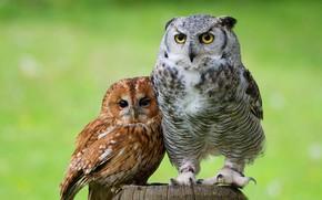 Обои глаза, взгляд, птицы, зеленый, фон, сова, птица, вместе, две, пень, портрет, пара, совы, парочка, дуэт, ...
