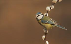 Картинка фон, птица, ветка, верба, синица