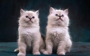 Картинка взгляд, темный фон, котенок, пара, котята, белые, котёнок, парочка, два, два котенка, рэгдолл