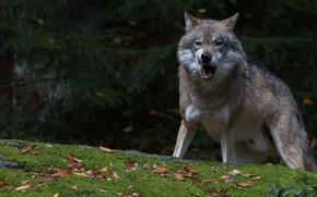 Картинка лес, листья, темный фон, серый, волк, оскал