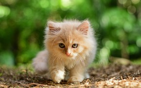 Картинка кошка, трава, природа, котенок, рыжий, прогулка, мордашка, боке
