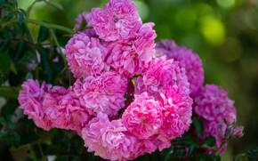 Картинка розы, розовые, много, розовый куст