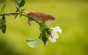 Картинка цветок, мышь, малютка