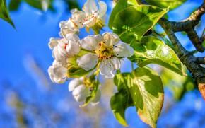 Картинка листья, ветка, весна, груша, цветение, цветки