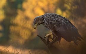 Картинка осень, природа, птица, хищник, орёл, Łukasz Sokół