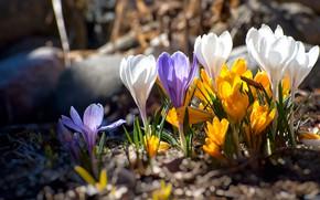 Картинка цветы, весна, крокусы, полянка