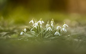 Картинка цветы, природа, весна, snowdrops