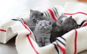 Картинка кошки, котенок, котята, ткань, малыши, британские, выводок