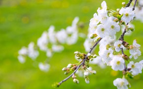 Картинка зелень, цветы, вишня, поляна, ветка, весна, сад, сакура, белые, цветение, лужайка, боке