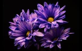 Картинка цветы, хризантемы, тёмный фон