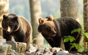 Картинка деревья, камни, медведь, медведи, пара, медвежонок, медвежата, два, морды, позы, два медвежонка