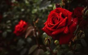 Картинка листья, капли, цветы, темный фон, роза, розы, сад, бутон, красные, красная