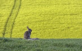 Картинка лето, заяц, рапс