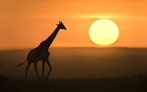Картинка солнце, жираф, саванна, sun, giraffe, savannah