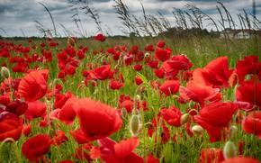 Картинка лето, цветы, маки, луг, красные, алые, много, маковое поле