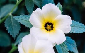 Картинка цветы, белые, анютины глазки
