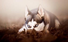 Картинка осень, взгляд, морда, листья, природа, туман, серый, фон, настроение, листва, портрет, собака, пес, лежит, уши, …